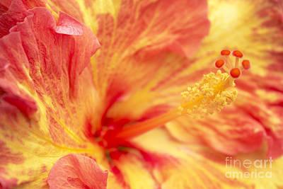 Hibiscus Art Print by Tony Cordoza