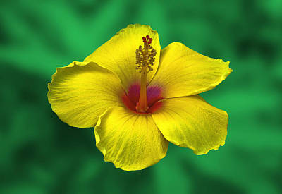 Photograph - Hibiscus Yellow by Bob Mulligan