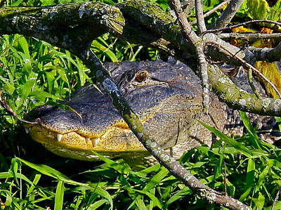 Photograph - Hidden Alligator by Denise Mazzocco