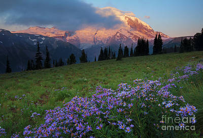 Asters Photograph - Hidden Majesty by Mike  Dawson