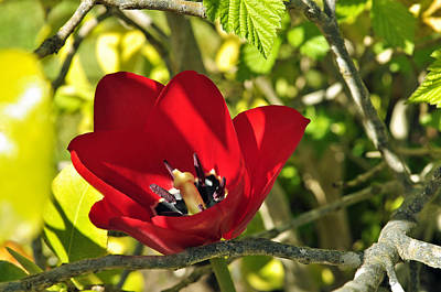 Photograph - Hidden Red Tulip by Tikvah's Hope