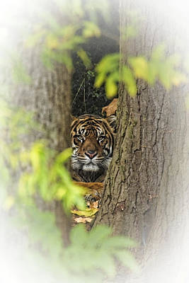Photograph - Hidden Tiger by Wes and Dotty Weber