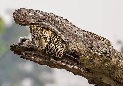 Leopard Wall Art - Photograph - Hide And Seek by Eunice Kim