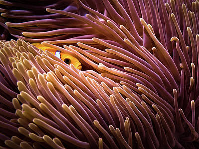 Clownfish Photograph - Hide And Seek... by Luckyguy