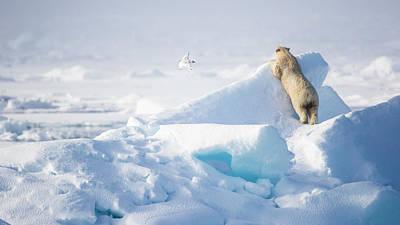 Arctic Air Photograph - Hide And Seek, Ursus Maritimes, Fulmars by Raffi Maghdessian