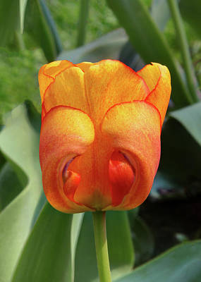 Photograph - Hide-n-seek Tulip by Harold Rau