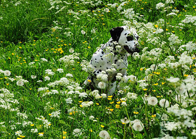Photograph - Hiding Among Dandelions. Kokkie. Dalmation Dog by Jenny Rainbow