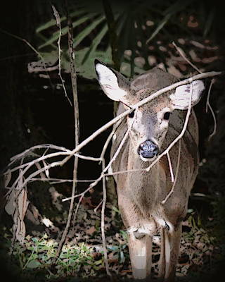 Photograph - Hiding Doe 1 by Sheri McLeroy