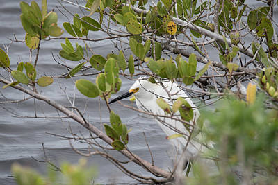 Photograph - Hiding In The Mangroves by Michael Gooch