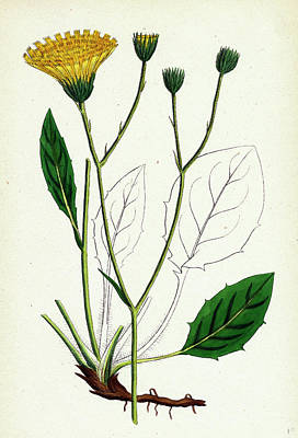 Botanica Drawing - Hieracium Anglicum Var. Genuinum English Hawkweed Var by English School