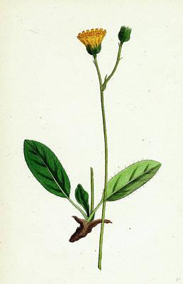 Hieracium Cinarescens Hairy-leaved Hawkweed Print by English School