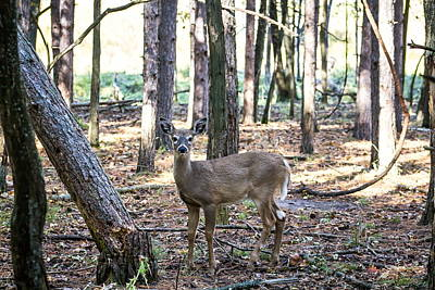 Nikki Vig Royalty-Free and Rights-Managed Images - High Alert White Tail Deer in the Woods by Nikki Vig