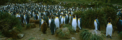 King Penguin Photograph - High Angle View Of A Colony Of King by Panoramic Images