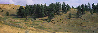 Bison Photograph - High Angle View Of Bisons Grazing by Panoramic Images