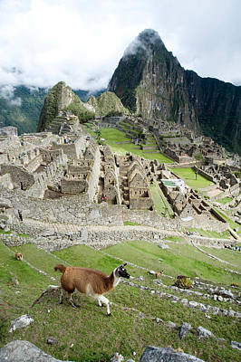 Ancient Civilization Photograph - High Angle View Of Llama Lama Glama by Panoramic Images