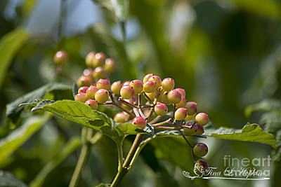 Photograph - High Bush Cranberry 20120703_120a by Tina Hopkins
