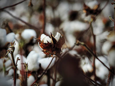 Boll Photograph - High Cotton 003  by Lance Vaughn