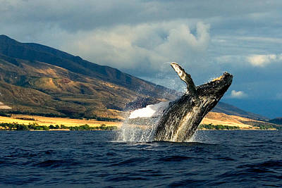 Flying Whale Photograph - High Flying - A Humpback Whale Jumping Out Of The Water by Nature  Photographer