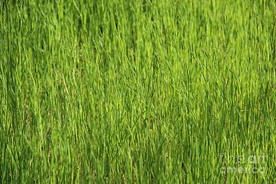 Sun Photograph - High Green Grass In Sunlight by Kerstin Ivarsson