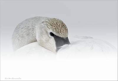 Photograph - High Key Swan Portrait by Daniel Behm