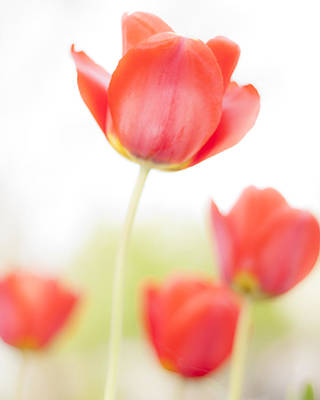 Tulips Photograph - High Key Tulips by Adam Romanowicz
