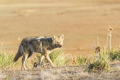 High Plains Coyote At Sunset Print by Adam Pender