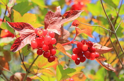 Highbush Cranberry In September Art Print by Jim Sauchyn