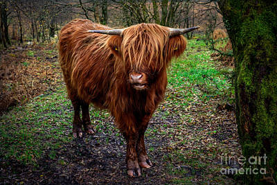 Bos Bos Digital Art - Highland Beast  by Adrian Evans