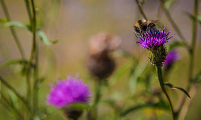 Photograph - Highland Bee by Matthew Onheiber
