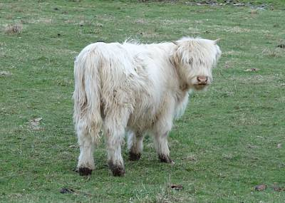 Photograph - Highland Calf by Lucinda VanVleck