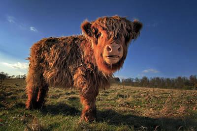 Yak Wall Art - Photograph - Highland Calf by Paul Baggaley