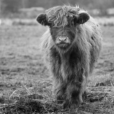 Highland Calf Art Print by Sonya Lang