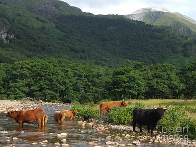 Photograph - Highland Cattle - Glen Nevis by Phil Banks