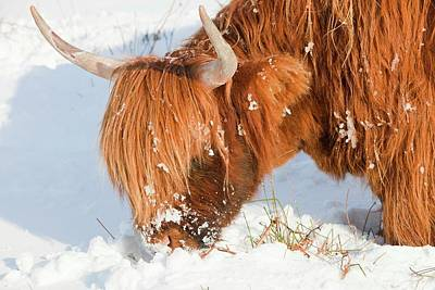 Grazing Snow Photograph - Highland Cattle Grazing by Ashley Cooper