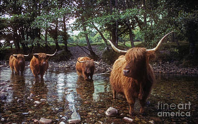 Photograph - Highland Cattle In A Mountain Stream by Phil Banks