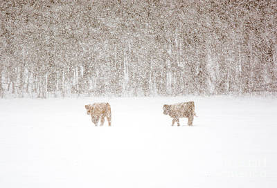 Photograph - Highland Cattle In The Snow by Cheryl Baxter