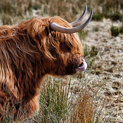 Cow Humorous Photograph - Highland Coo With Tongue In Nose by John Farnan