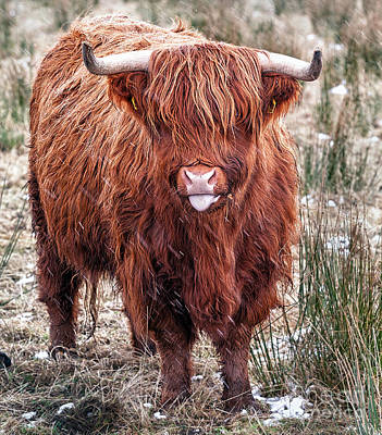 Cow Humorous Photograph - Highland Coo With Tongue Out by John Farnan