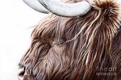Highland Cow Color Art Print by John Farnan