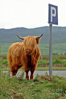 Photograph - Highland Cow by David Davies