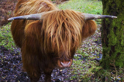 Photograph - Highland Cow by Ian Mitchell