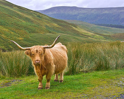 Photograph - Highland Cow In Glen Lyon Scotland by Jane McIlroy
