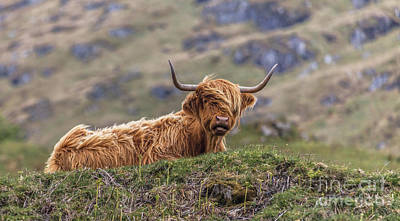 Photograph - Highland Cow by Liz Leyden
