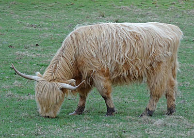 Photograph - Highland Cow					 by Lucinda VanVleck