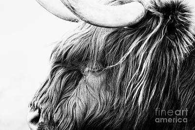 Highland Cow Mono Art Print by John Farnan