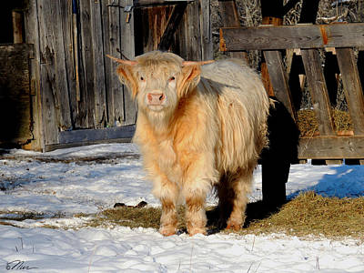 Photograph - Highland Cow by Nancy Griswold