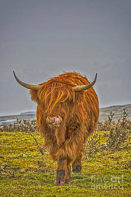 Long Horn Cow Photograph - Highland Cow On Bodmin Moor by Chris Thaxter