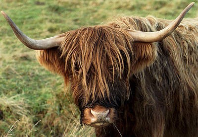 Cow Humorous Photograph - Highland Cow by Philip Ralley