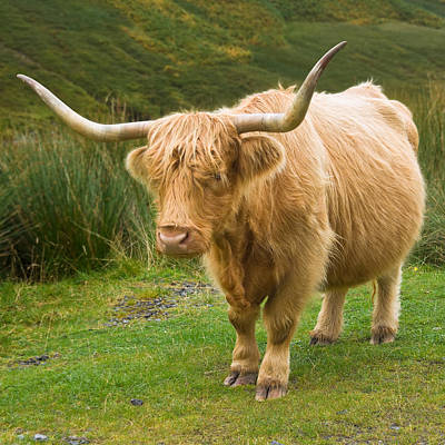 Photograph - Highland Cow - Scotland by Jane McIlroy