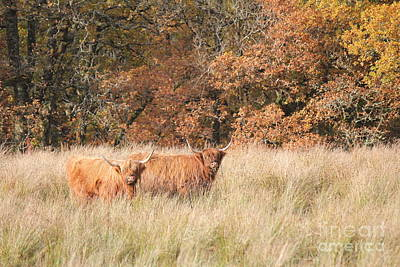 Photograph - Highland Cows In Autumn by David Grant